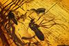 http://mczbase.mcz.harvard.edu/specimen_images/entomology/paleo/large/PALE-6756_Chironomidae.jpg