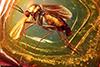 http://mczbase.mcz.harvard.edu/specimen_images/entomology/paleo/large/PALE-6764_Mycetophilidae.jpg