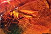http://mczbase.mcz.harvard.edu/specimen_images/entomology/paleo/large/PALE-6766_syn1_Mycetophilidae.jpg