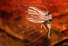 http://mczbase.mcz.harvard.edu/specimen_images/entomology/paleo/large/PALE-6766_syn2_Sciaridae.jpg