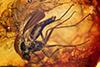 http://mczbase.mcz.harvard.edu/specimen_images/entomology/paleo/large/PALE-6769_Mycetophilidae.jpg
