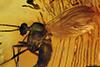 http://mczbase.mcz.harvard.edu/specimen_images/entomology/paleo/large/PALE-6772_syn2_Mycetophilidae.jpg