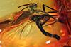 http://mczbase.mcz.harvard.edu/specimen_images/entomology/paleo/large/PALE-6778_Mycetophilidae.jpg