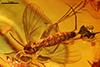 http://mczbase.mcz.harvard.edu/specimen_images/entomology/paleo/large/PALE-6781_Mycetophilidae.jpg