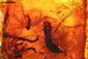 http://mczbase.mcz.harvard.edu/specimen_images/entomology/paleo/large/PALE-6791_Diptera_pupa.jpg