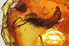 http://mczbase.mcz.harvard.edu/specimen_images/entomology/paleo/large/PALE-6797_Diptera_pupa.jpg