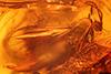 http://mczbase.mcz.harvard.edu/specimen_images/entomology/paleo/large/PALE-6815_syn2_Mycetophilidae.jpg