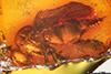 http://mczbase.mcz.harvard.edu/specimen_images/entomology/paleo/large/PALE-6816_Empididae.jpg