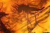 http://mczbase.mcz.harvard.edu/specimen_images/entomology/paleo/large/PALE-6865_syn3_Chironomidae.jpg