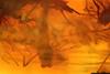 http://mczbase.mcz.harvard.edu/specimen_images/entomology/paleo/large/PALE-6865_syn9_Chironomidae.jpg
