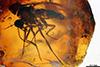 http://mczbase.mcz.harvard.edu/specimen_images/entomology/paleo/large/PALE-6894_Atriculicoides_globosus.jpg