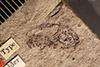 http://mczbase.mcz.harvard.edu/specimen_images/entomology/paleo/large/PALE-68_Lachnopus_recuperatus_type_1.jpg