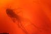 http://mczbase.mcz.harvard.edu/specimen_images/entomology/paleo/large/PALE-6960_Chironomidae.jpg