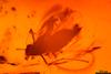 http://mczbase.mcz.harvard.edu/specimen_images/entomology/paleo/large/PALE-6962_Chironomidae.jpg