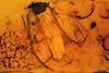 http://mczbase.mcz.harvard.edu/specimen_images/entomology/paleo/large/PALE-6964_Chironomidae.jpg