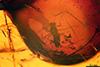 http://mczbase.mcz.harvard.edu/specimen_images/entomology/paleo/large/PALE-6989_Chironomidae.jpg