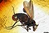 http://mczbase.mcz.harvard.edu/specimen_images/entomology/paleo/large/PALE-7008_Gheynia_bifurcata.jpg