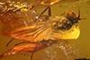 http://mczbase.mcz.harvard.edu/specimen_images/entomology/paleo/large/PALE-7017_Dolichopodidae.jpg