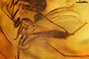 http://mczbase.mcz.harvard.edu/specimen_images/entomology/paleo/large/PALE-7130_syn3_Mycetophilidae.jpg