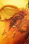 http://mczbase.mcz.harvard.edu/specimen_images/entomology/paleo/large/PALE-7157_Mycetophilidae.jpg