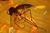 http://mczbase.mcz.harvard.edu/specimen_images/entomology/paleo/large/PALE-7167_Mycetophilidae.jpg