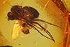 http://mczbase.mcz.harvard.edu/specimen_images/entomology/paleo/large/PALE-7194_Dolichopodidae.jpg