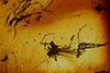 http://mczbase.mcz.harvard.edu/specimen_images/entomology/paleo/large/PALE-7196_Sciaridae.jpg
