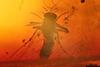 http://mczbase.mcz.harvard.edu/specimen_images/entomology/paleo/large/PALE-7196_syn2_Chironomidae.jpg