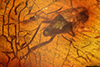 http://mczbase.mcz.harvard.edu/specimen_images/entomology/paleo/large/PALE-7199_Brachycera.jpg