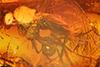 http://mczbase.mcz.harvard.edu/specimen_images/entomology/paleo/large/PALE-7200_Dolichopodidae.jpg