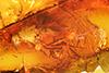 http://mczbase.mcz.harvard.edu/specimen_images/entomology/paleo/large/PALE-7200_syn1_Dolichopodidae.jpg