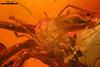 http://mczbase.mcz.harvard.edu/specimen_images/entomology/paleo/large/PALE-7200_syn2_Acari.jpg
