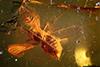 http://mczbase.mcz.harvard.edu/specimen_images/entomology/paleo/large/PALE-7208_Chironomidae.jpg