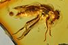 http://mczbase.mcz.harvard.edu/specimen_images/entomology/paleo/large/PALE-7219_Electrochyliza_succini.jpg