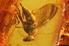 http://mczbase.mcz.harvard.edu/specimen_images/entomology/paleo/large/PALE-7226_Palaeomedeterus_sp.jpg