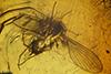 http://mczbase.mcz.harvard.edu/specimen_images/entomology/paleo/large/PALE-7229_Psychodidae.jpg