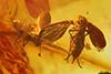 http://mczbase.mcz.harvard.edu/specimen_images/entomology/paleo/large/PALE-7230_Psychodidae.jpg