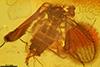 http://mczbase.mcz.harvard.edu/specimen_images/entomology/paleo/large/PALE-7232_Psychodidae.jpg