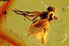 http://mczbase.mcz.harvard.edu/specimen_images/entomology/paleo/large/PALE-7235_Dolichopodidae.jpg