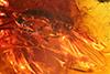 http://mczbase.mcz.harvard.edu/specimen_images/entomology/paleo/large/PALE-7236_Dolichopodidae.jpg