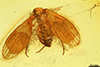 http://mczbase.mcz.harvard.edu/specimen_images/entomology/paleo/large/PALE-7240_Psychodidae.jpg