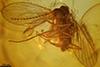 http://mczbase.mcz.harvard.edu/specimen_images/entomology/paleo/large/PALE-7241_Psychodidae.jpg