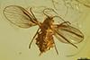 http://mczbase.mcz.harvard.edu/specimen_images/entomology/paleo/large/PALE-7243_Psychodidae.jpg