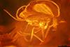 http://mczbase.mcz.harvard.edu/specimen_images/entomology/paleo/large/PALE-7246_syn2_Chironomidae.jpg