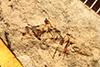 http://mczbase.mcz.harvard.edu/specimen_images/entomology/paleo/large/PALE-725_Closterocoris_elegans_type.jpg