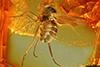 http://mczbase.mcz.harvard.edu/specimen_images/entomology/paleo/large/PALE-7261_Dolichopodidae.jpg