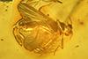 http://mczbase.mcz.harvard.edu/specimen_images/entomology/paleo/large/PALE-7265_Ceratopogonidae.jpg