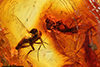 http://mczbase.mcz.harvard.edu/specimen_images/entomology/paleo/large/PALE-7302_Mycetophilidae.jpg