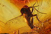 http://mczbase.mcz.harvard.edu/specimen_images/entomology/paleo/large/PALE-7302_syn1_Mycetophilidae.jpg