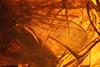 http://mczbase.mcz.harvard.edu/specimen_images/entomology/paleo/large/PALE-7302_syn2_Mycetophilidae.jpg